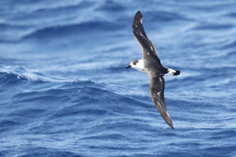 Photo: A black-capped petrel (Pterodroma hasitata) in the gulf stream.